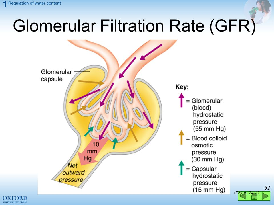 Glomerular Filtration Rate (GFR)