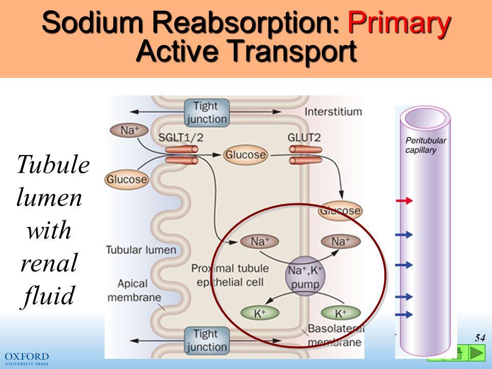 Sodium Reabsorption: Primary Active Transport
