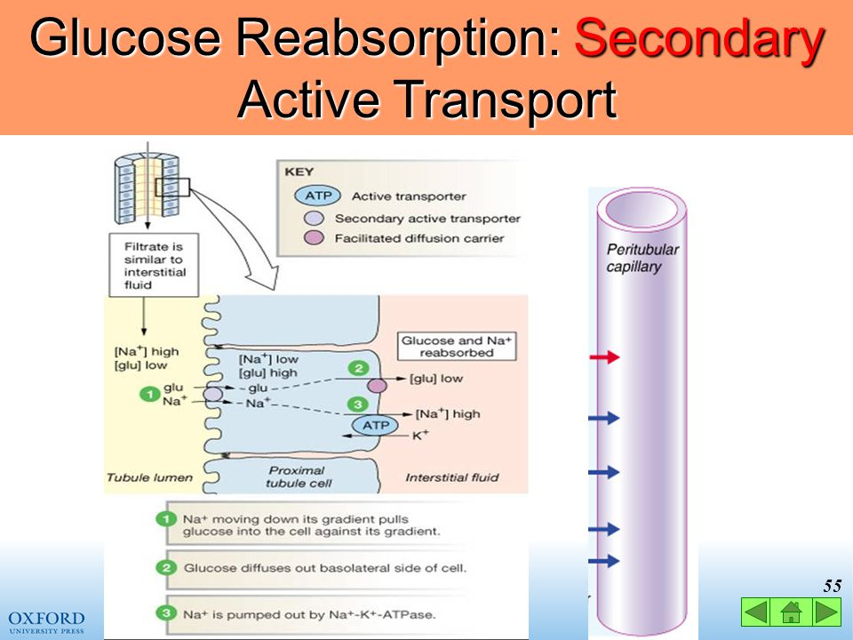 Glucose Reabsorption: Secondary Active Transport