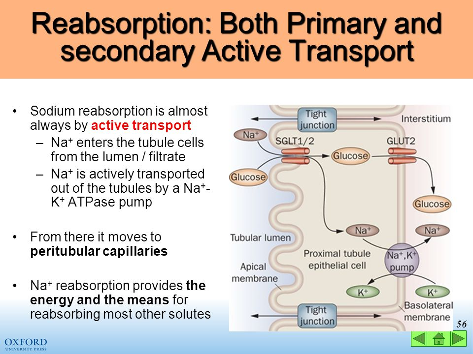 Reabsorption: Both Primary and secondary Active Transport