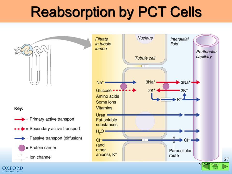 Reabsorption by PCT Cells