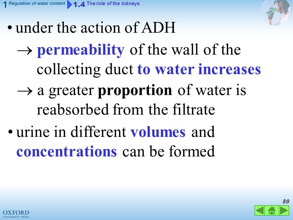  permeability of the wall of the collecting duct to water increases