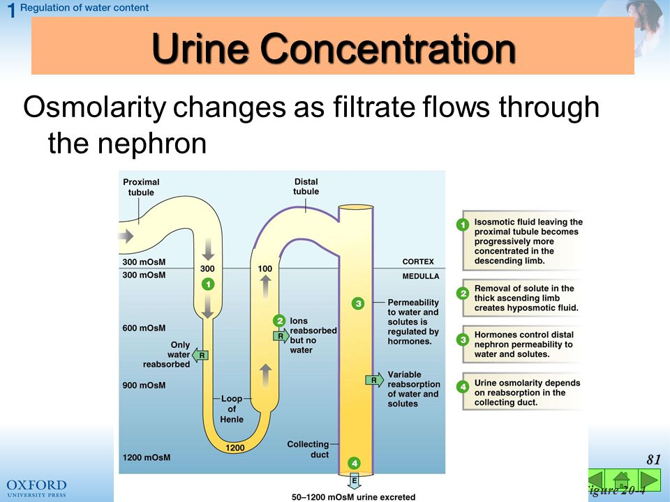 Urine Concentration Osmolarity changes as filtrate flows through the nephron Figure 20-4 81