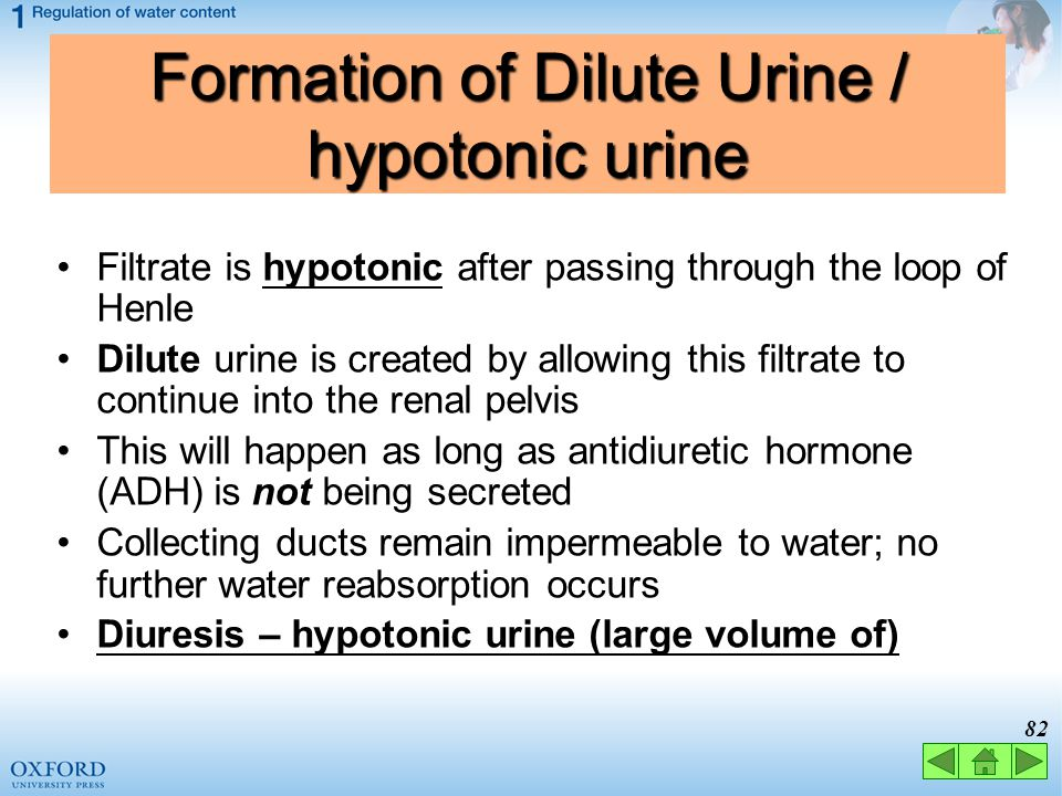Formation of Dilute Urine / hypotonic urine