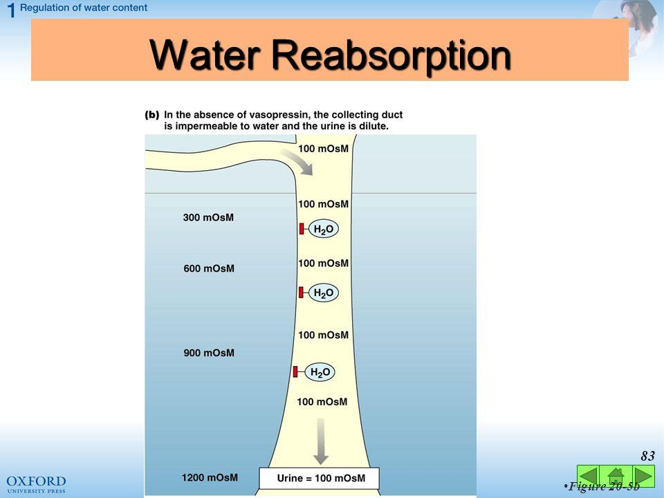 Water Reabsorption Figure 20-5b 83