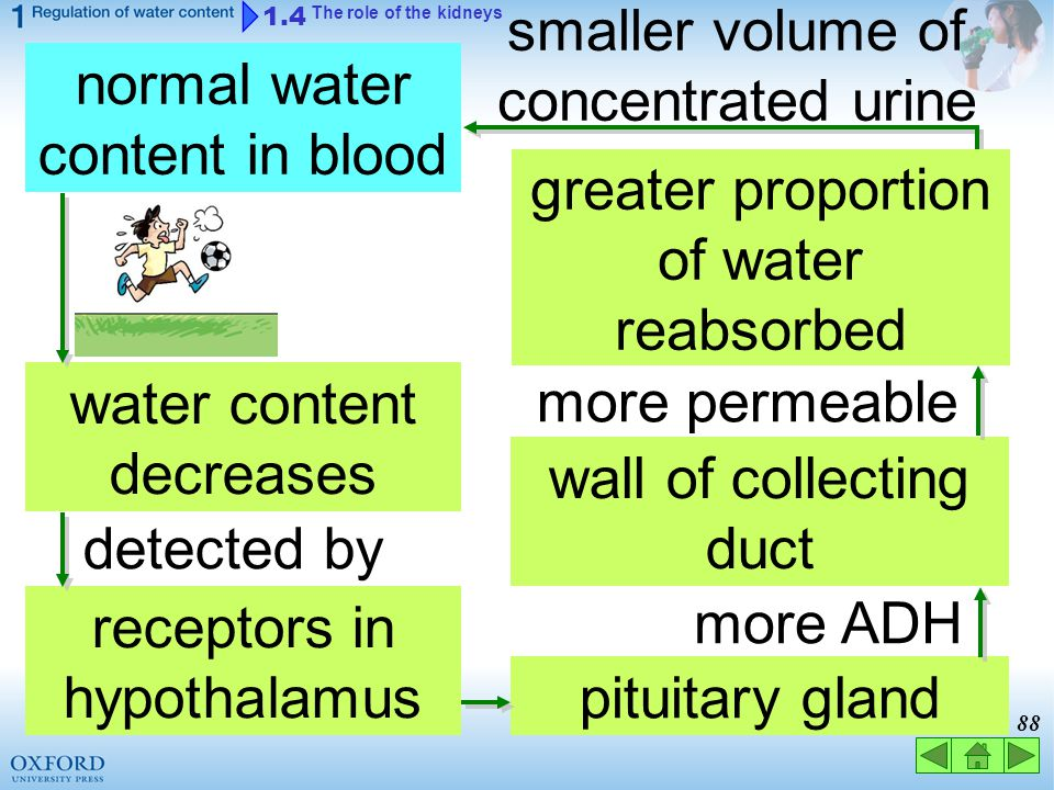 smaller volume of concentrated urine normal water content in blood