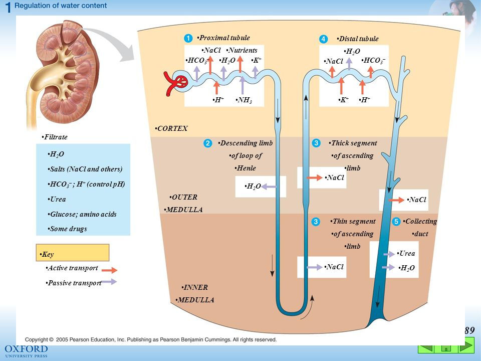 Proximal tubule Distal tubule. NaCl. Nutrients. H2O. HCO3– H2O. K+ NaCl. HCO3– H+ NH3. K+