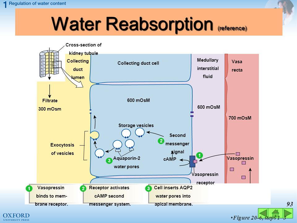 Water Reabsorption (reference)