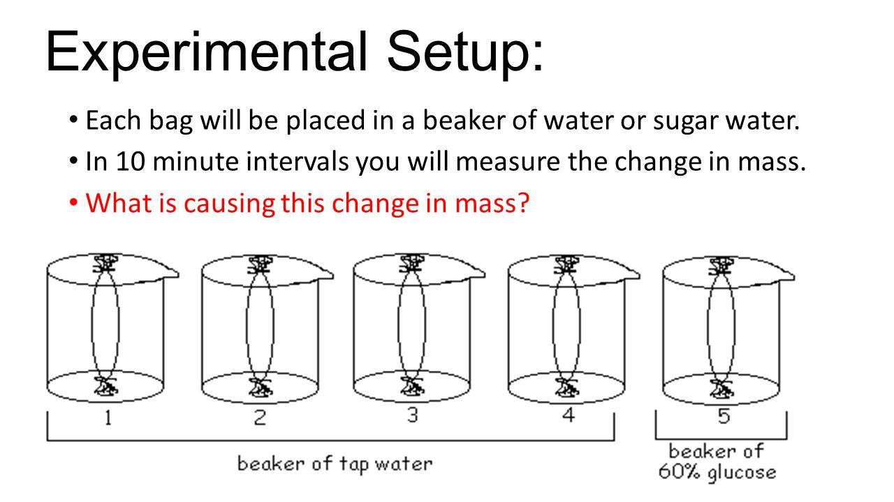 Experimental Setup: Each bag will be placed in a beaker of water or sugar water. In 10 minute intervals you will measure the change in mass.