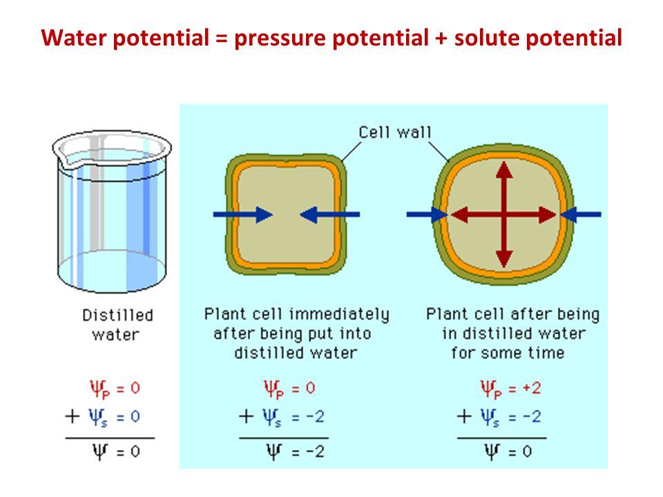 Water potential = pressure potential + solute potential