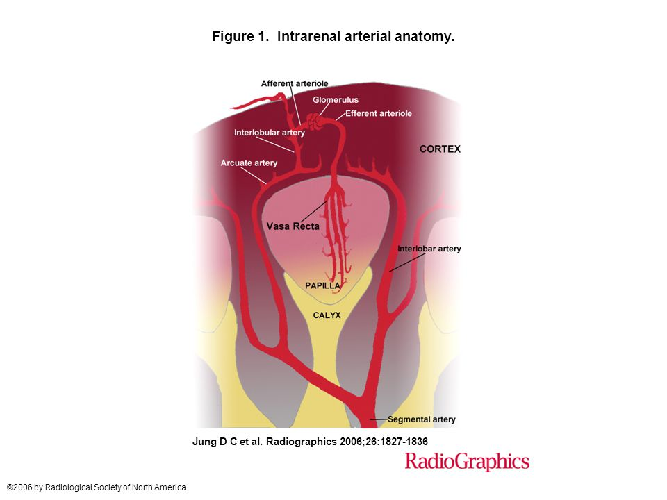 Figure 1. Intrarenal arterial anatomy.