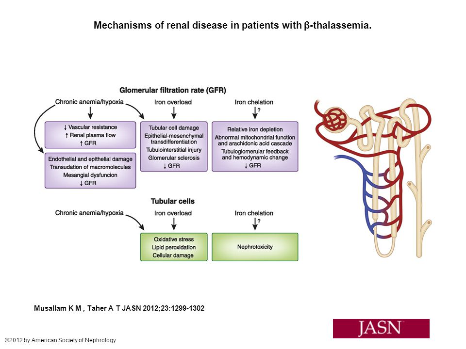 Mechanisms of renal disease in patients with β-thalassemia.
