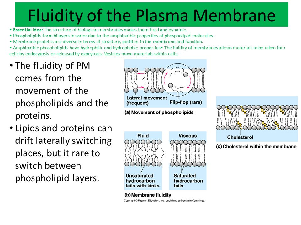 Fluidity of the Plasma Membrane