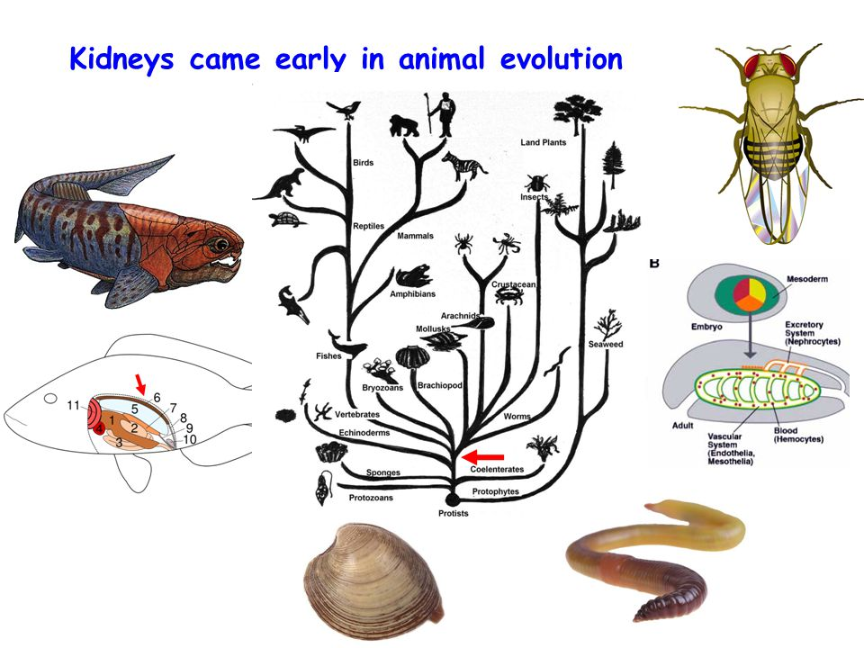 Kidneys came early in animal evolution