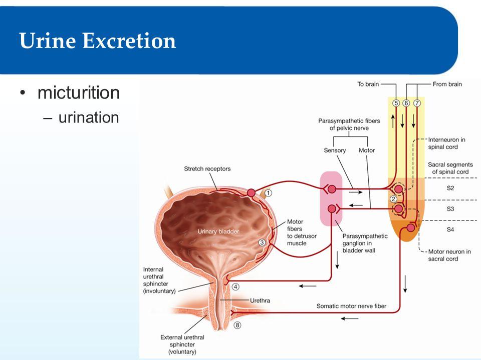 Urine Excretion micturition urination