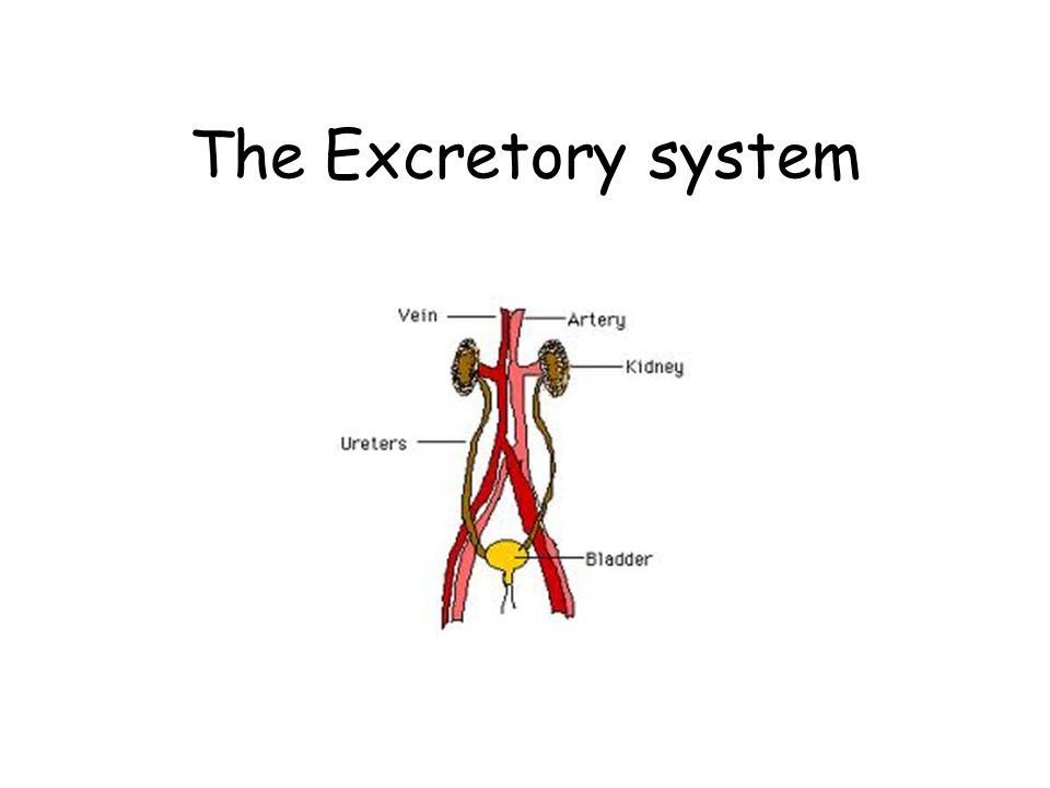The Excretory System Ppt Video Online Download