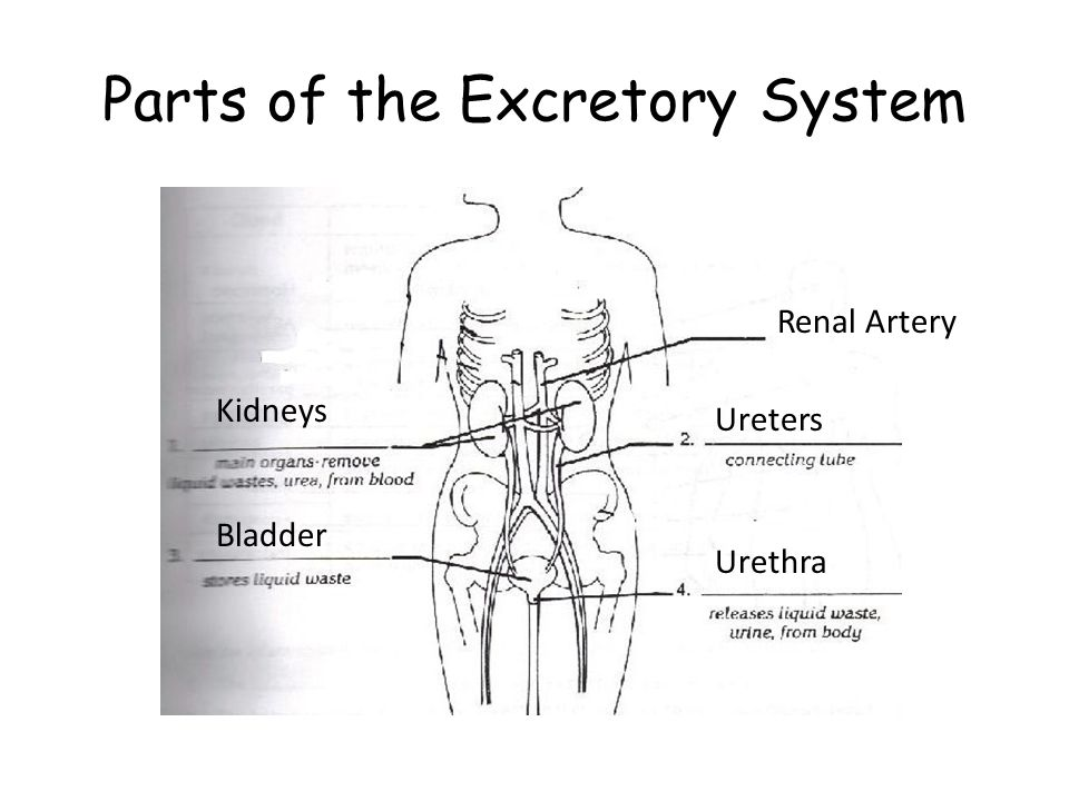 Parts of the Excretory System