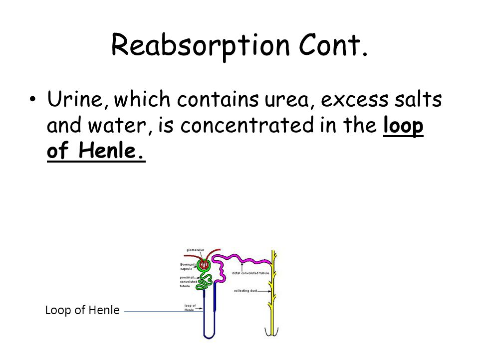 Reabsorption Cont. Urine, which contains urea, excess salts and water, is concentrated in the loop of Henle.