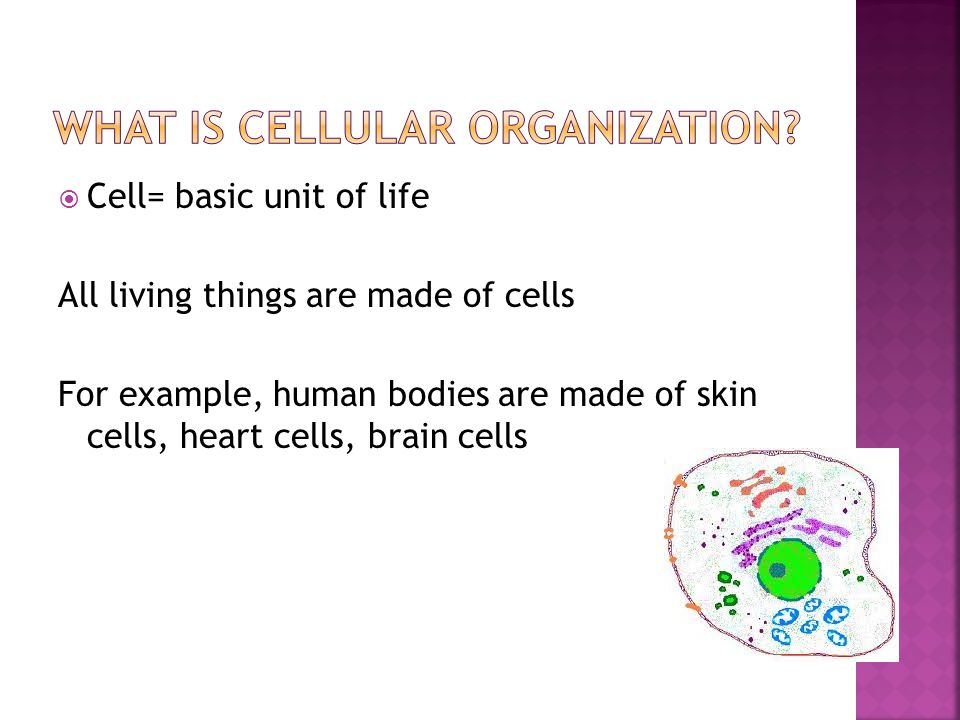 What is cellular organization