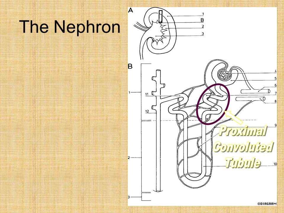 The Nephron Proximal Convoluted Tubule