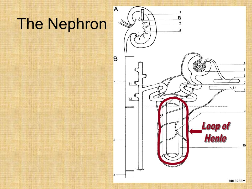 The Nephron Loop of Henle