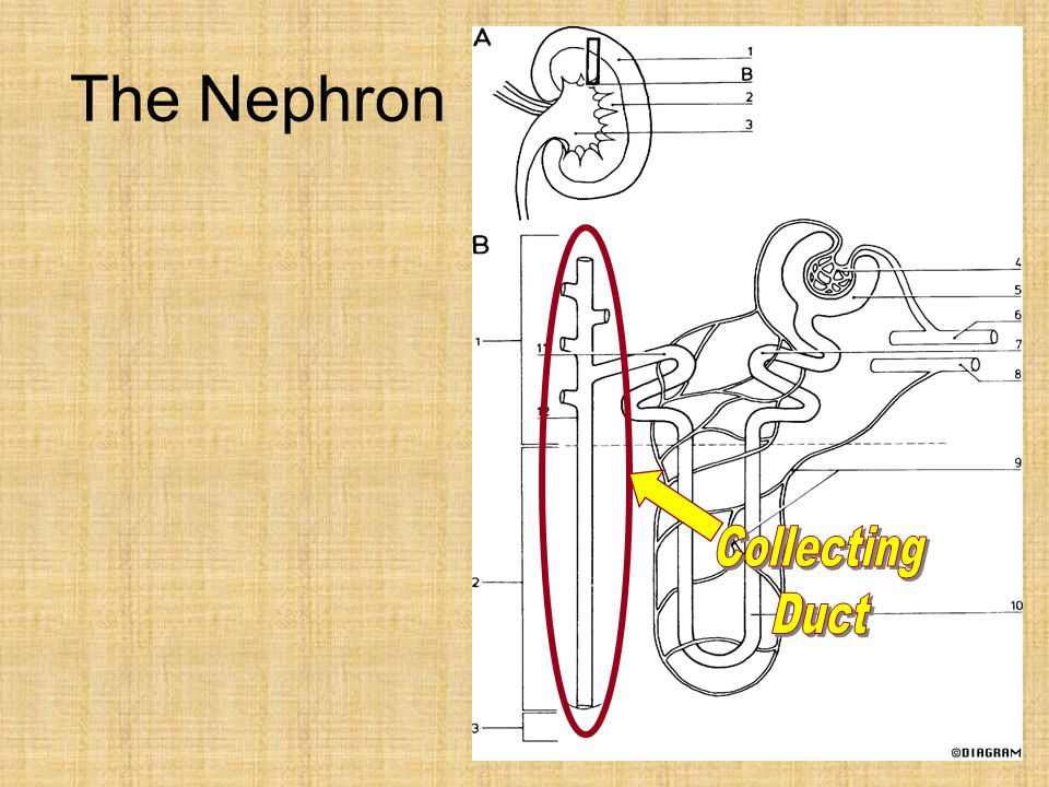 The Nephron Collecting Duct