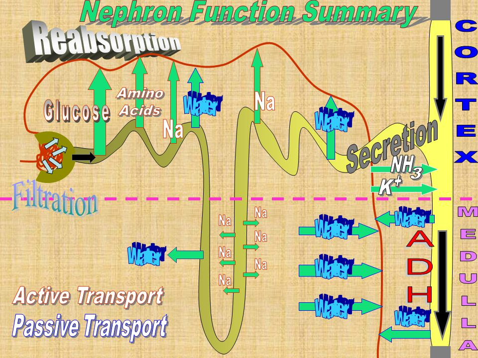 Nephron Function Summary