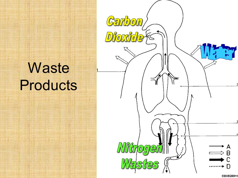 Carbon Dioxide Water Waste Products Nitrogen Wastes