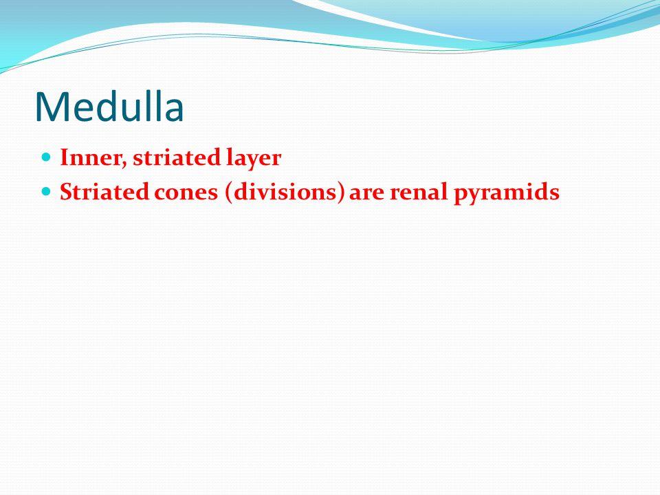 Medulla Inner, striated layer