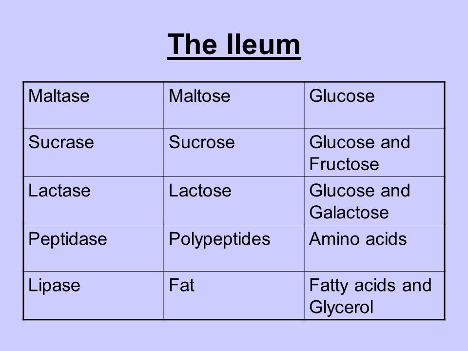 The Ileum Maltase Maltose Glucose Sucrase Sucrose Glucose and Fructose
