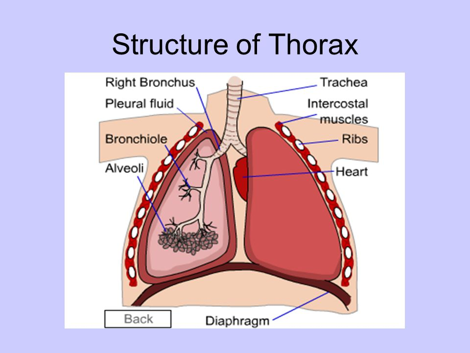 Structure of Thorax