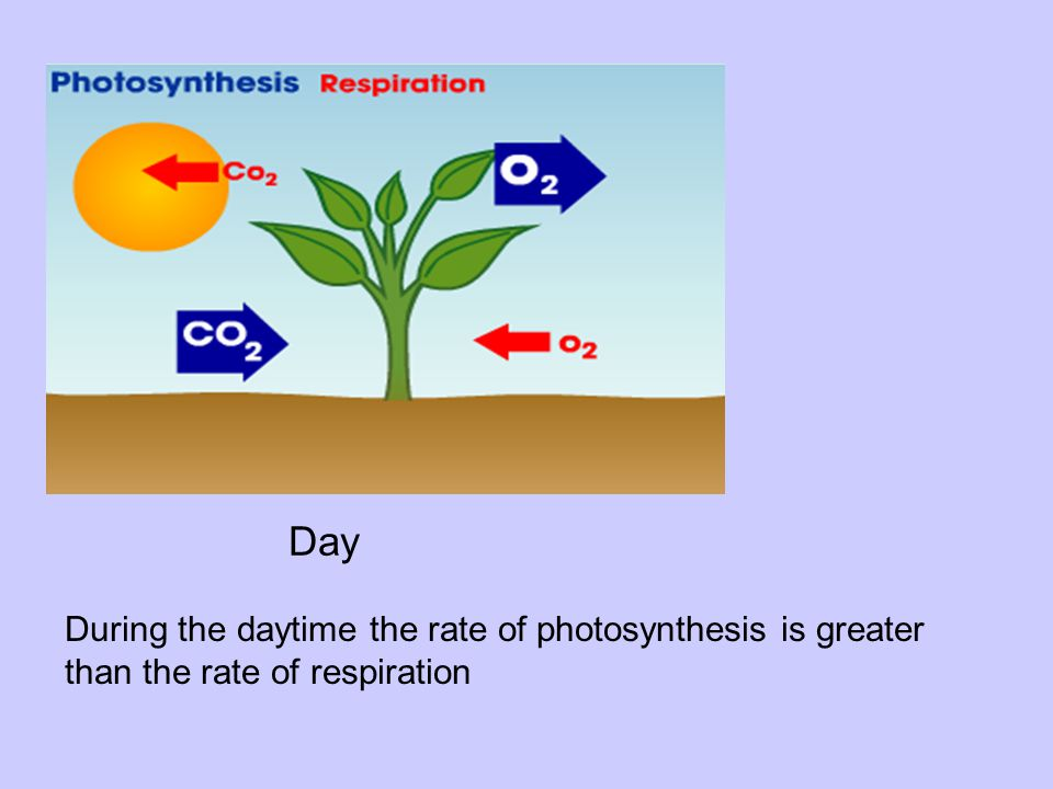 Day During the daytime the rate of photosynthesis is greater than the rate of respiration