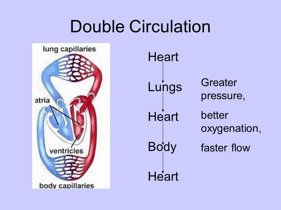 Double Circulation Heart Lungs Body Greater pressure,