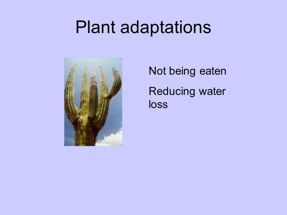 Plant adaptations Not being eaten Reducing water loss