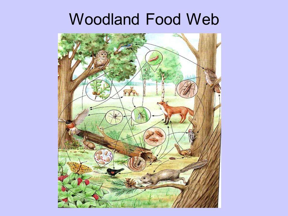Woodland Food Web