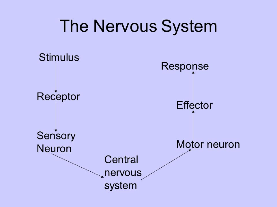 The Nervous System Stimulus Response Receptor Effector Sensory Neuron