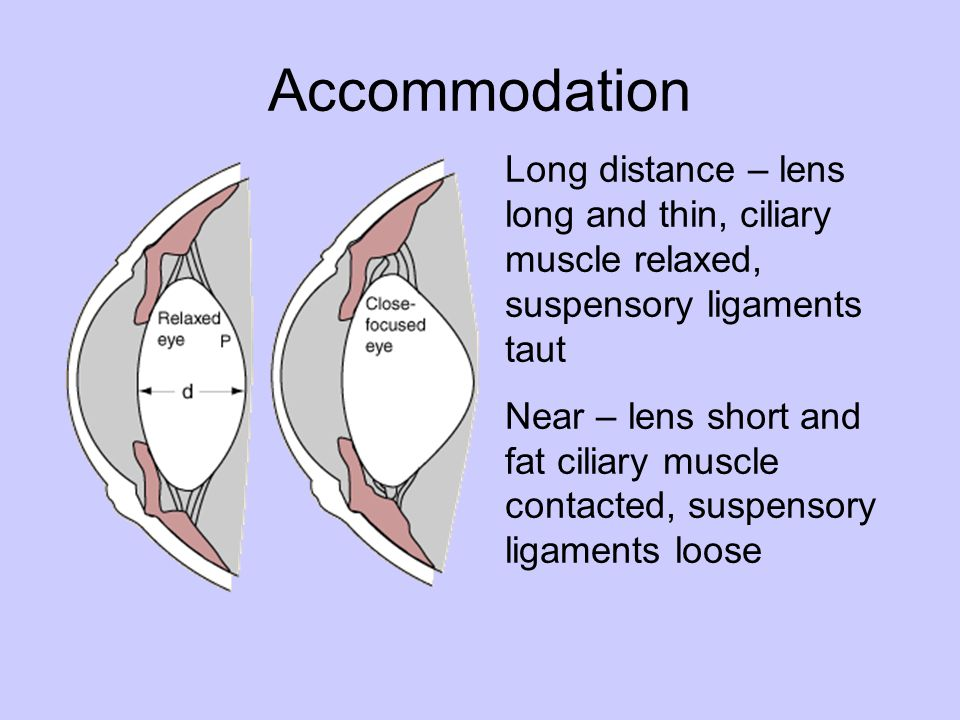 Accommodation Long distance – lens long and thin, ciliary muscle relaxed, suspensory ligaments taut.