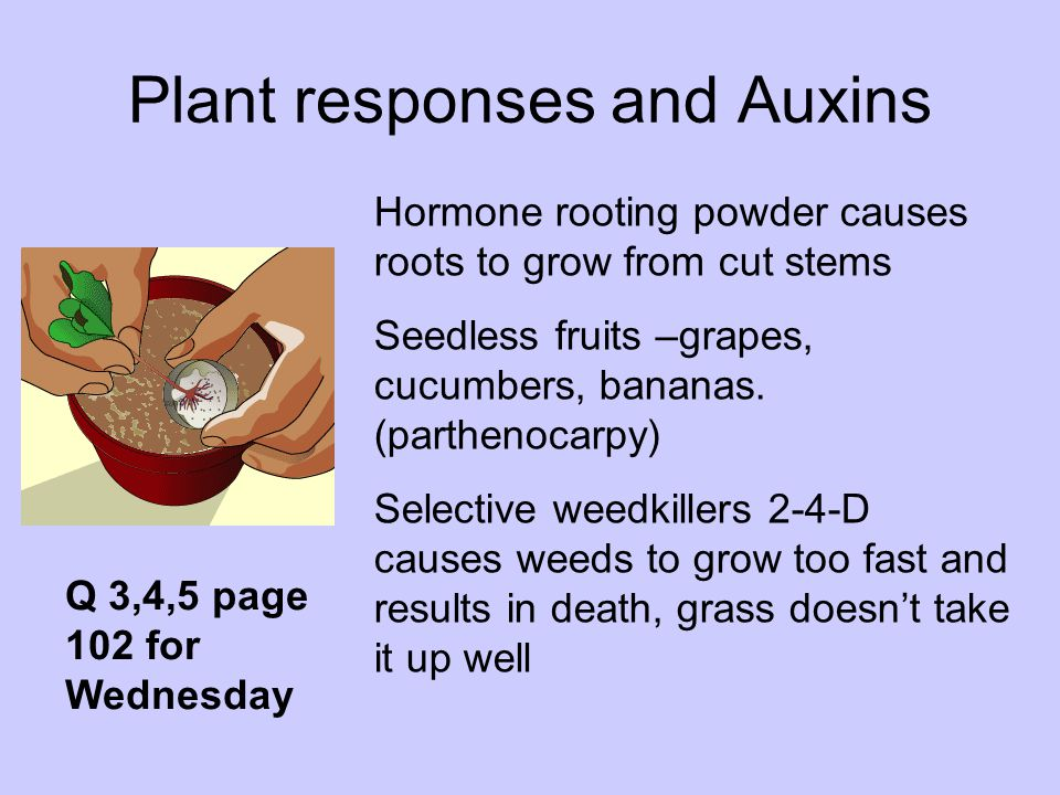 Plant responses and Auxins