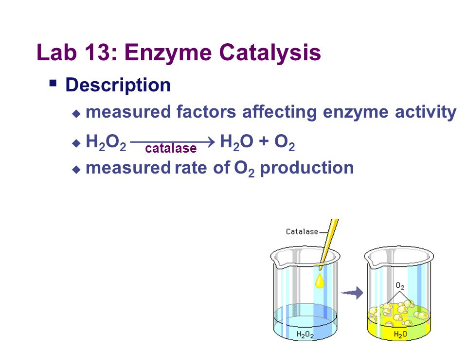 Lab 13: Enzyme Catalysis Description
