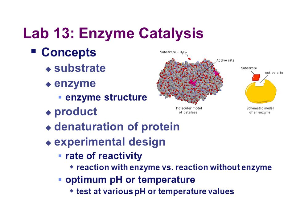 Lab 13: Enzyme Catalysis Concepts substrate enzyme product