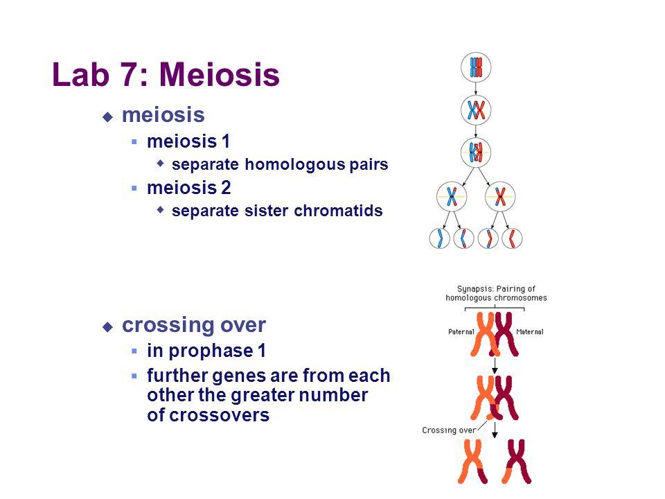 Lab 7: Meiosis meiosis crossing over meiosis 1 meiosis 2 in prophase 1
