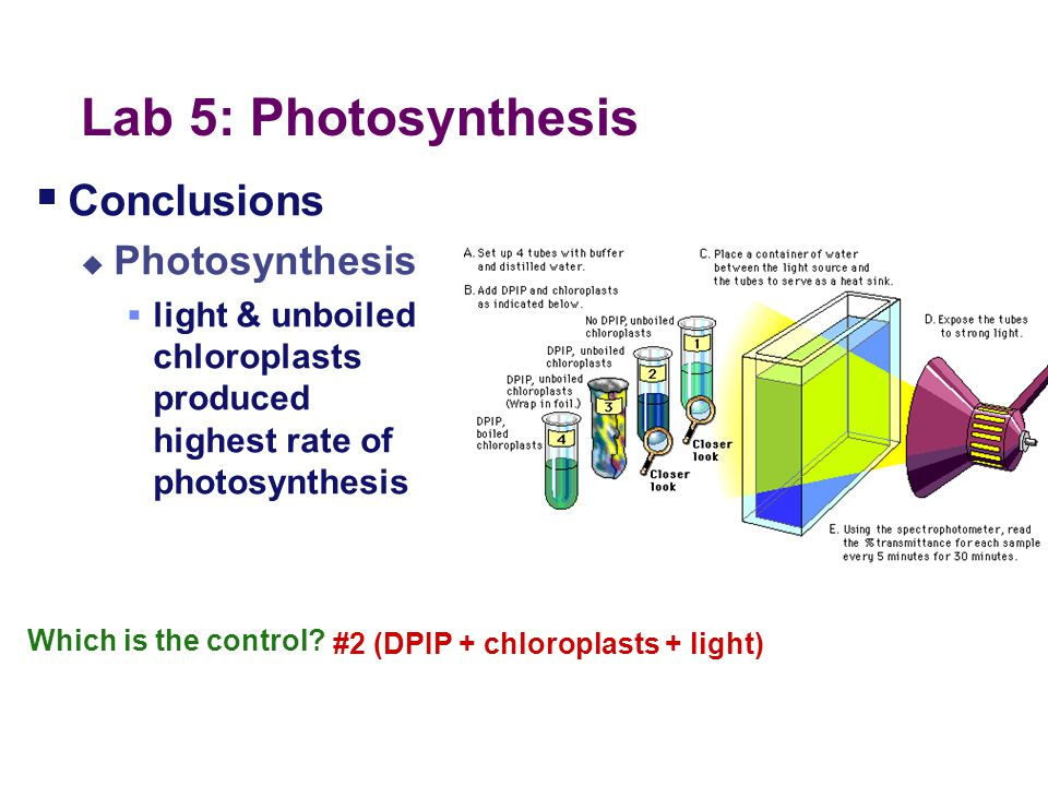Lab 5: Photosynthesis Conclusions Photosynthesis