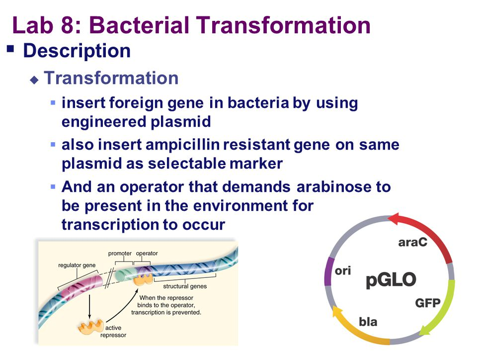 Lab 8: Bacterial Transformation
