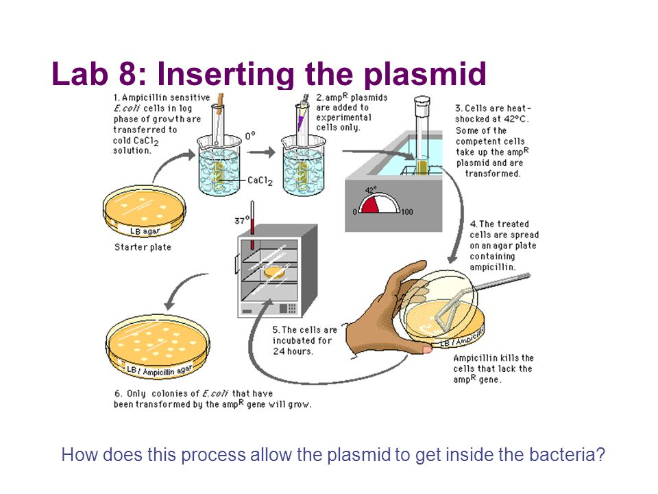 Lab 8: Inserting the plasmid