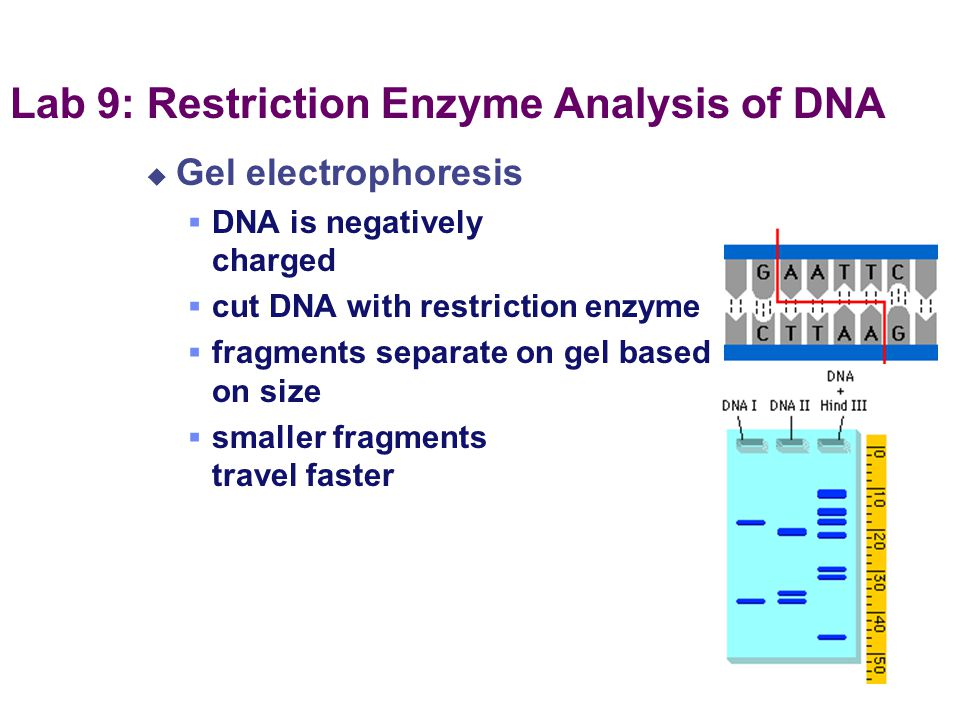 Lab 9: Restriction Enzyme Analysis of DNA