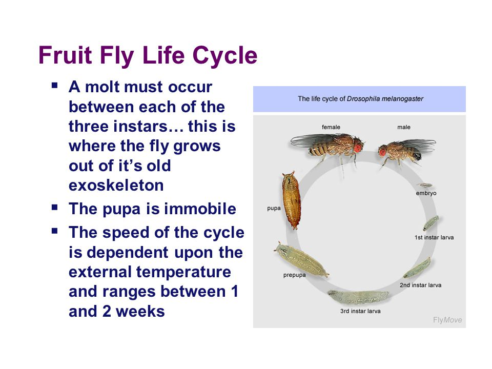 Fruit Fly Life Cycle A molt must occur between each of the three instars… this is where the fly grows out of it's old exoskeleton.