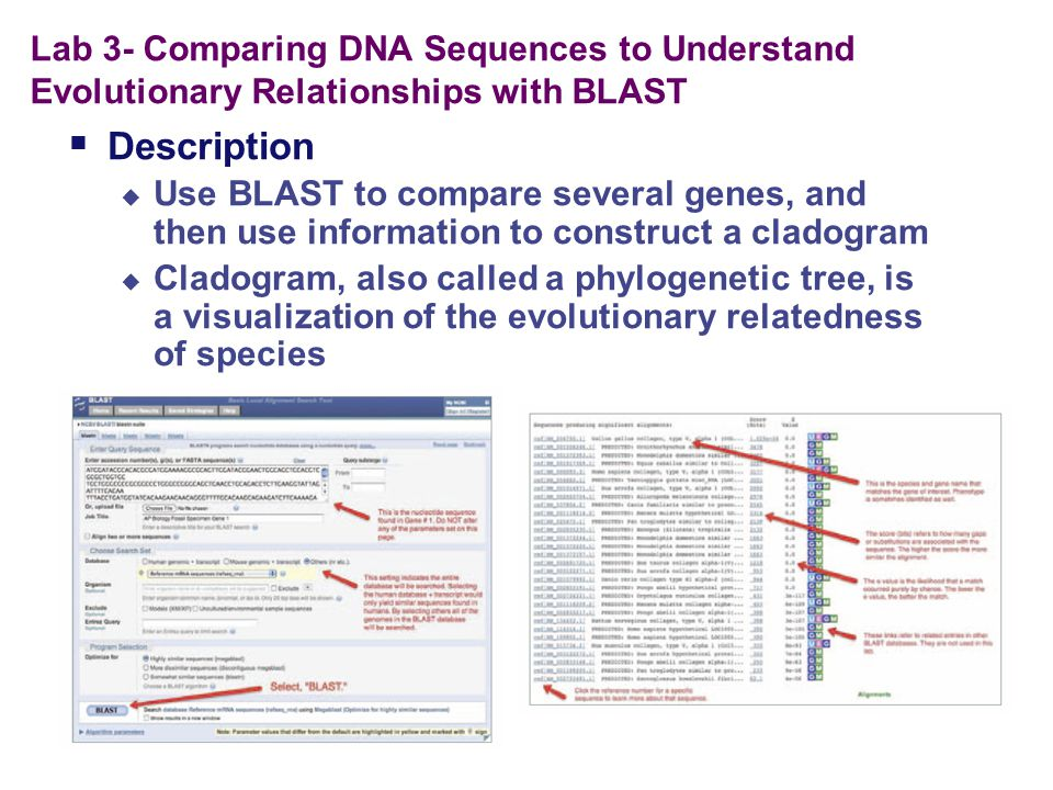 Lab 3- Comparing DNA Sequences to Understand Evolutionary Relationships with BLAST