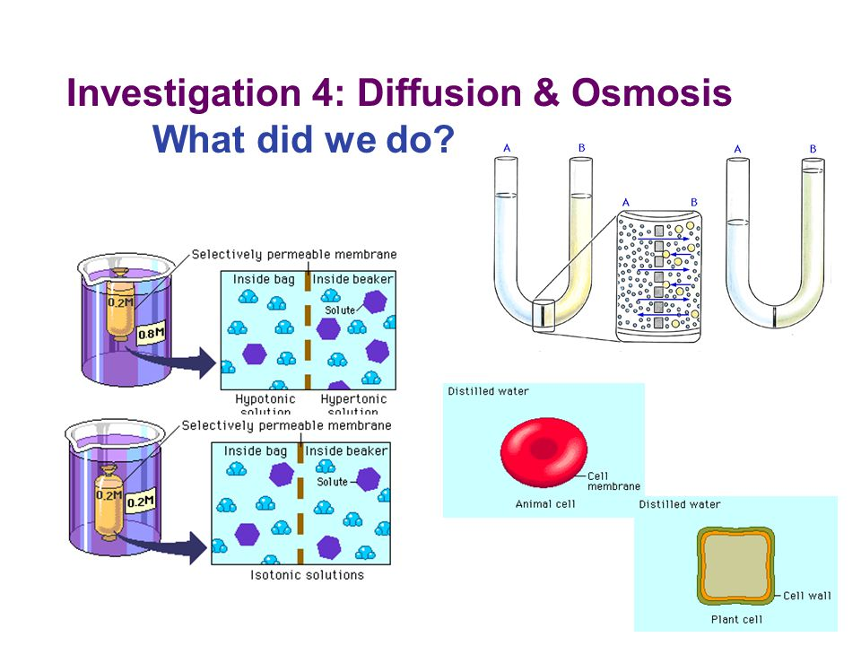 Investigation 4: Diffusion & Osmosis What did we do