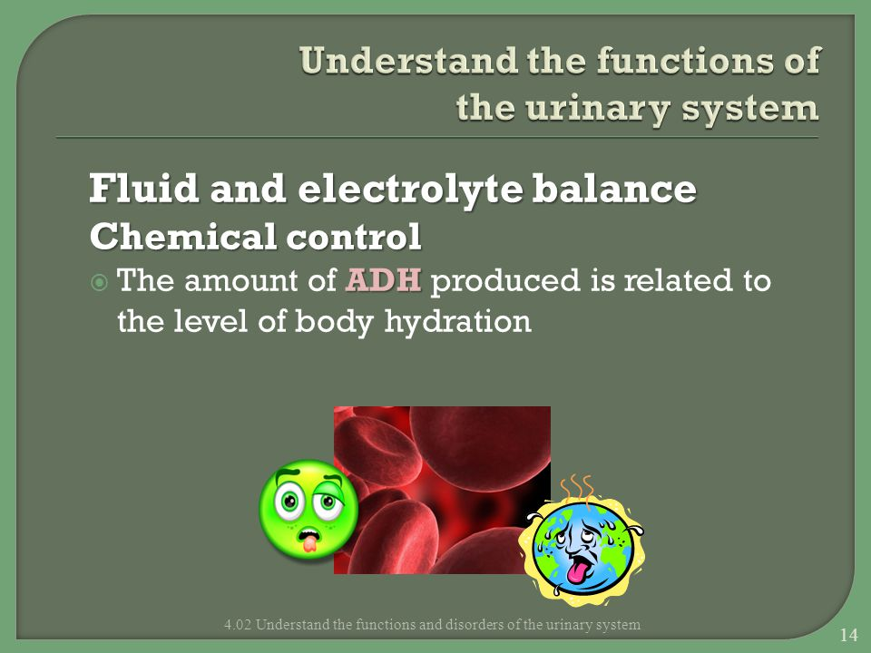 Understand the functions of the urinary system