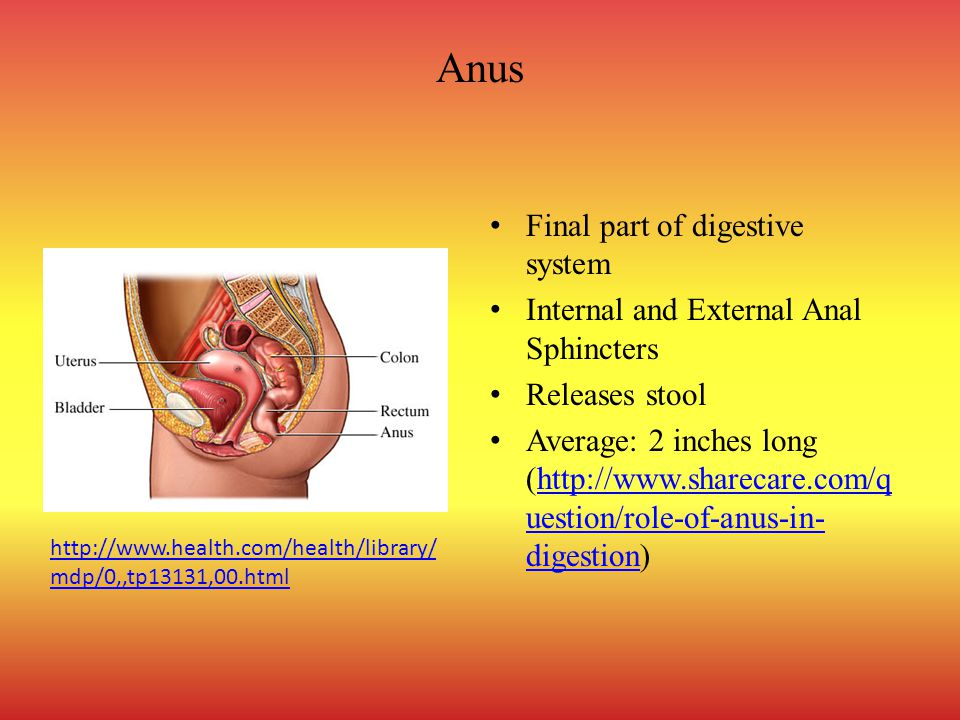 Anus Final part of digestive system